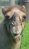 Camel_001