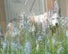 Sitka_in_spring